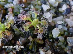 You can see the thin layer of sand with peat moss underneath on this Drosera patens