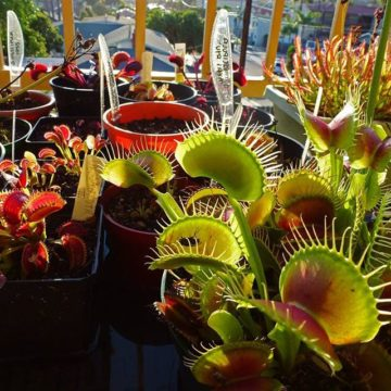 Just for comparison, a B52 on the left surrounded by other cultivars of flytraps.