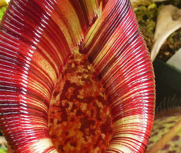 Sneak Peek: Nepenthes Glamour Shots @ California Carnivores