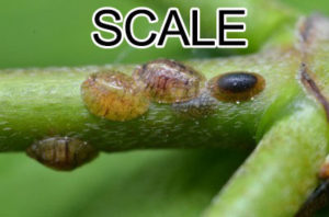 "SCALE: Armored scale can be tough to get rid of with all the hard waxy ""armor,"" find out my method to getting rid of them safe and effectively!"