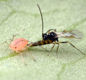 wasp aphid warfare