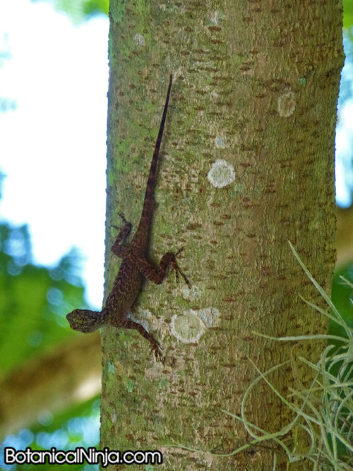 Anole climbing down a tree trunk vertically!