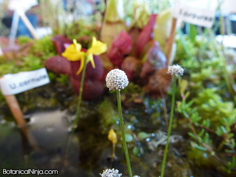 Emmi Kurosawa's adorable local bog plant dislay! It featured the carnivorous plants local to the Massachusetts bogs!