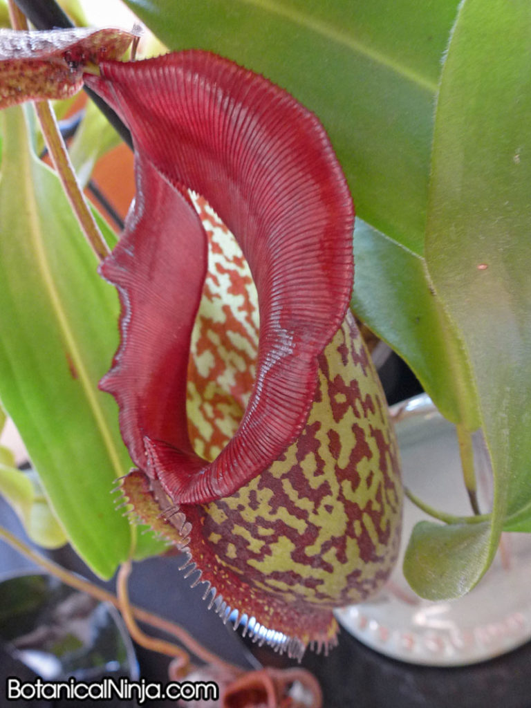 Nepenthes x 'Lady Pauline' grown by Emmi Kurosawa