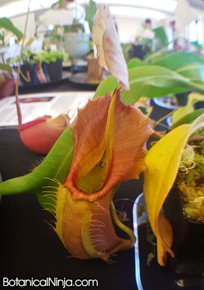 Nepenthes veitchii Pink grown by David Schloat
